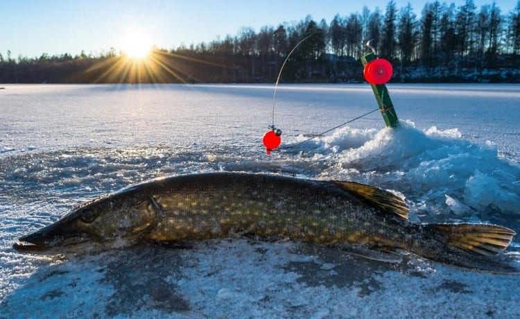 catched pike in the snow